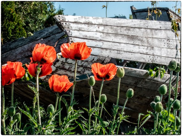 web-Poppy-and-boat
